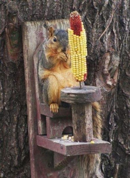 Corny squirrel