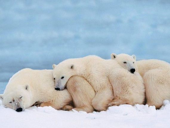 Polar bear cuddle fest