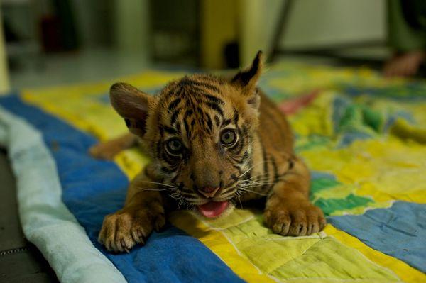 Tiger cub cute