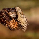 eagle-owl-flight-mark-bridger