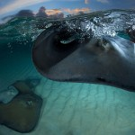 stingray-grand-cayman-gazzaroli-claudio