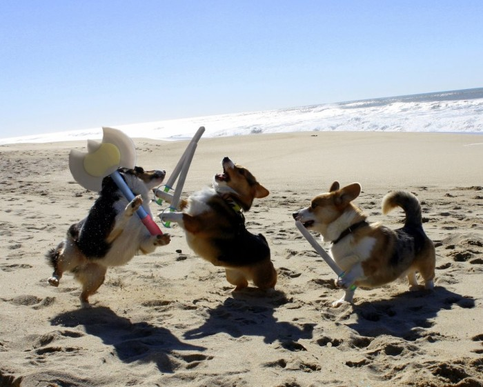 corgi-battle